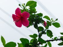 Immagine di bello fiore rosa dell'ibisco in pioggia persistente, colpo vicino immagine stock