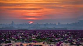 Immagine di bello giacimento di fiore del loto al mare rosso del loto Fotografia Stock Libera da Diritti