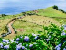 Immagine di bello paesaggio con le ortensie e di un percorso che conduce all'Atlantico sulle Azzorre fotografia stock