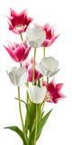 Immagine di bello primo piano dei tulipani Fotografia Stock Libera da Diritti