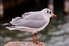 Immagine di immagine della foto di un gabbiano di mare dell'uccello acquatico del gabbiano immagine stock libera da diritti