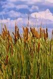 Immagine di HDR dei Cattails (orientalis della tifa) Fotografia Stock