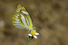 Immagine di Lesser Gull Butterfly Cepora Nadina Nadina fotografie stock libere da diritti