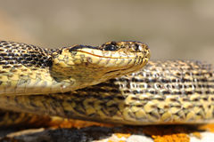 Immagine di macro del serpente di Blotched immagine stock libera da diritti