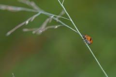 Immagine di macro dello scarabeo di Ladybird Fotografia Stock Libera da Diritti