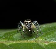 Bello ragno di salto con i pasti Immagine Stock