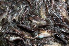 Immagine di mosso, immagine dello squalo iridescente immagini stock libere da diritti