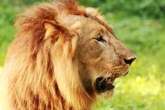 Immagine di profilo del leone Fotografia Stock