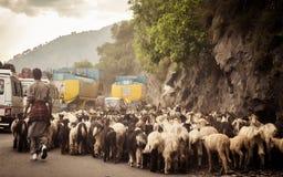 Immagine di punto di vista dell'automobile Una moltitudine di pecore che camminano lungo una strada principale del paese nel pass fotografia stock