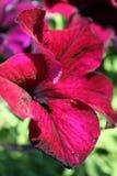 Immagine di riserva della petunia Fotografia Stock