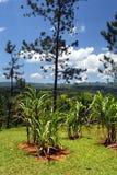 Immagine di riserva della piantagione di Croydon, Giamaica Immagine Stock Libera da Diritti