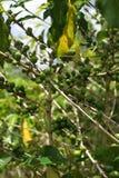 Immagine di riserva della piantagione di Croydon, Giamaica Fotografie Stock Libere da Diritti