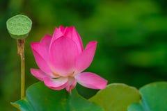 Immagine di riserva libera di alta qualità della sovranità di un fiore di loto rosa Fotografia Stock Libera da Diritti