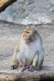 Immagine di seduta della scimmia Immagini Stock Libere da Diritti