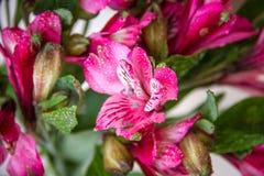 Fiori di Alstroemeria Fotografia Stock Libera da Diritti