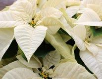 Immagine di sfondo graziosa delle foglie bianche e dei fiori gialli sulle piante della stella di Natale immagini stock libere da diritti