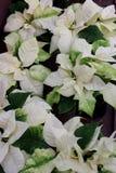 Immagine di sfondo pacifica di grande bianco e delle foglie verdi con i fiori gialli sulle piante della stella di Natale fotografia stock libera da diritti