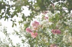 Immagine di sfondo sbiadita degli alberi del mirto di crêpe Fotografie Stock Libere da Diritti