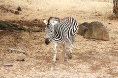 Singola camminata della zebra Fotografie Stock Libere da Diritti