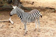 Singola condizione della zebra Fotografie Stock Libere da Diritti