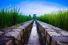 Immagine di un canale di irrigazione con acqua, passante attraverso un giacimento verde del riso nella mattina fotografia stock