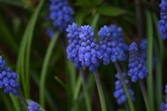 Immagine di un fiore del giacinto colorato blu circondato da erba verde immagini stock