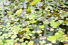 Immagine di un fiore di loto sull'acqua Fotografia Stock Libera da Diritti