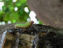 Immagine di un gree e di un insetto cattepillar rosso su un albero fotografia stock