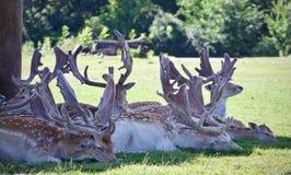 Immagine di un gruppo di piccoli cervi svegli in un'ombra Fotografie Stock