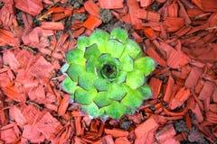 Immagine di un houseleek, pianta mai verde del primo piano Immagini Stock Libere da Diritti
