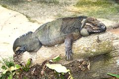 Iguana del rinoceronte sul tronco di albero Fotografia Stock Libera da Diritti