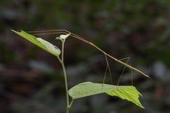 Immagine di un insetto di bastone gigante del Siam sul fondo della natura insetto Immagini Stock