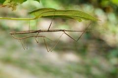 Immagine di un insetto di bastone gigante del Siam sulle foglie Immagini Stock Libere da Diritti