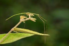 Immagine di un insetto di bastone gigante del Siam sul fondo della natura insetto Immagine Stock