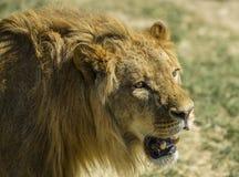 Immagine di un leone maschio Fotografie Stock