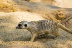 Immagine di un meerkat o di un suricate sul fondo della natura Immagine Stock Libera da Diritti