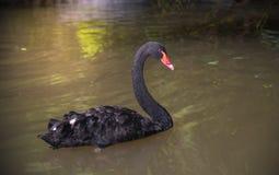 Immagine di un nuoto del cigno nero su uno stagno Fotografia Stock Libera da Diritti