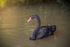 Immagine di un nuoto del cigno nero su uno stagno Fotografie Stock Libere da Diritti