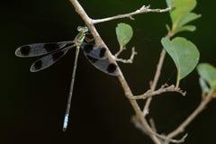Immagine di un octomaculatus di Orolestes delle libellule Fotografie Stock Libere da Diritti