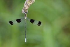 Immagine di un octomaculatus di Orolestes delle libellule Fotografia Stock Libera da Diritti
