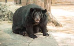 Immagine di un orso nero Fotografie Stock