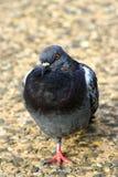Immagine di un piccione courious Immagine Stock Libera da Diritti