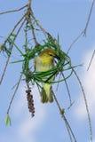 Nido femminile della costruzione dell'uccello del tessitore del capo Fotografia Stock Libera da Diritti