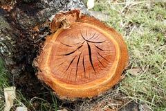 Tagli il tronco dell'eucalyptus Fotografia Stock