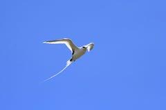 Volo dalla coda bianca dell'uccello tropicale Immagini Stock Libere da Diritti