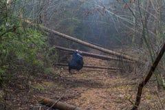 Immagine di una donna che sta guardando come passare fra i tronchi degli alberi caduti che bloccano un percorso nella foresta immagini stock