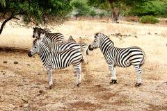 Famiglia della zebra che sta fermo Immagini Stock Libere da Diritti