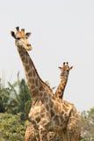 Immagine di una giraffa sul fondo della natura Fotografia Stock