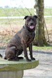 Immagine di una miscela rottweiler/del amstaff- Immagine Stock