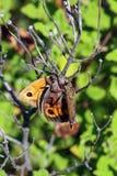 Immagine di una mosca di ladro che mangia preda Immagini Stock Libere da Diritti